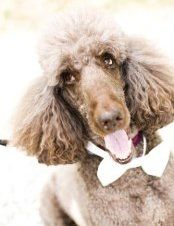Poodle Colors | Explanations and Photos
