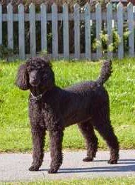Standard sized Poodle 6 years old