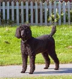 Standard Sized Poodle 6 Years Old Age Human Equivalent