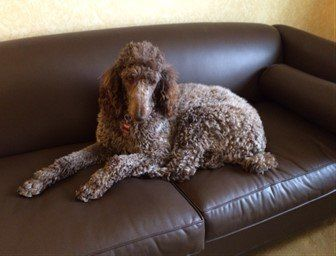 Standard Poodle resting on couch