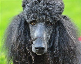 standard-poodle-close-up