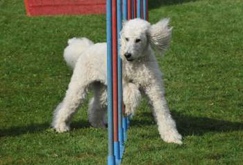 Standard Poodle running obstacles