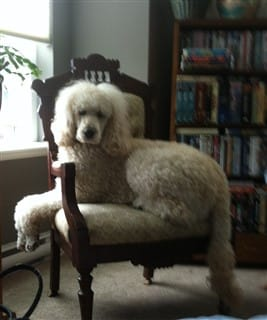 standard Poodle sitting in chair