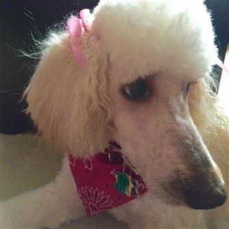 Poodle Eye Tear Stains | Poodle Information Center