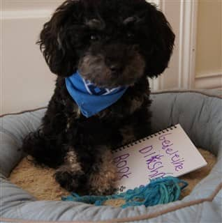 Toy Poodle in a dog bed