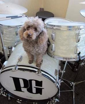 Toy Poodle sitting on drumset