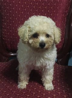 Toy Poodle in furniture, white and tan