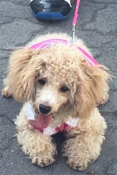 toy Poodle on leash