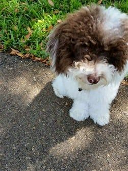 toy-poodle-white-and-brown
