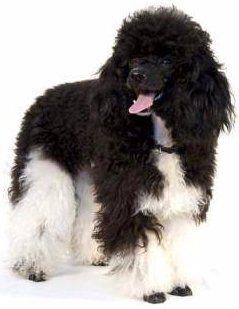 Parti Poodles Mismarks Tuxedo And Ticking On A Poodle