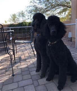 Two black standard sized Poodles