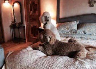two Poodles at home on bed