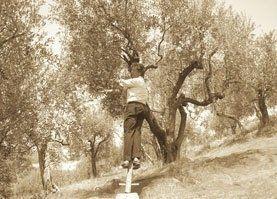 raccolta olive a mano