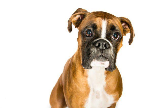 Boxer marrone con grandi occhi bruni