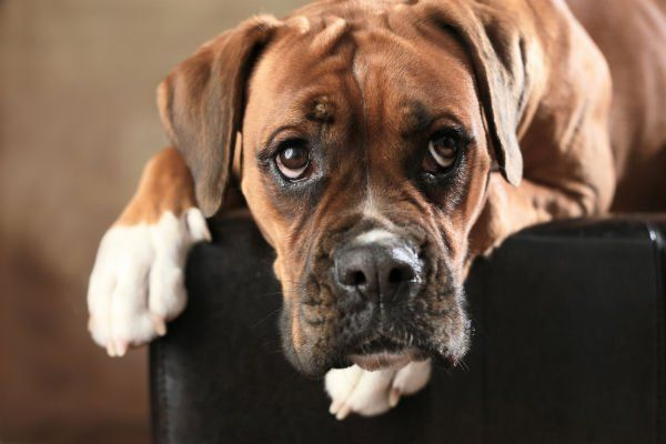 Boxer marrone sul sofá
