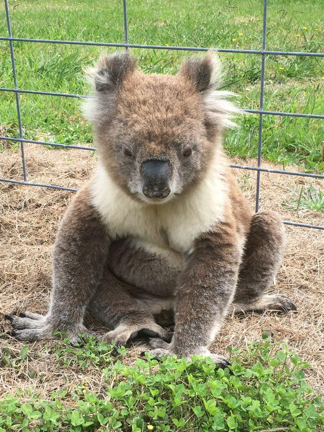 Fred the Koala