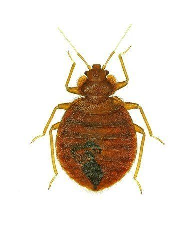 Get Rid of Bed Bugs Fast with Avenge Pest Control