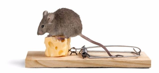 Rat and Mice Removal in Edmond and OKC   Avenge Pest Control