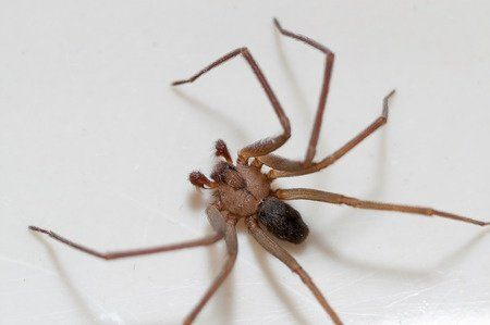 Get Rid of Brown Recluse Spiders Fast with Avenge Pest Control