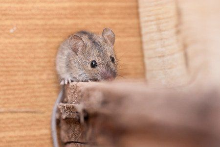 Let Avenge Pest Control Help You Get Rid of Mice for Good