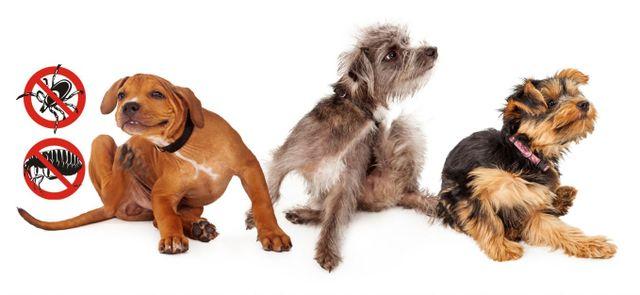 Flea and tick control in Edmond and OKC | Avenge Pest Control