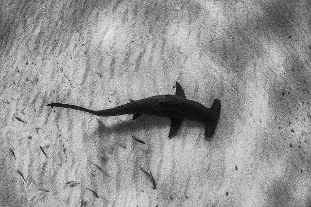 Great Hammerhead Shark - Bahams