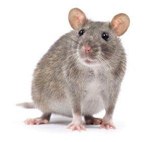 Rat-bite fever - Wikipedia
