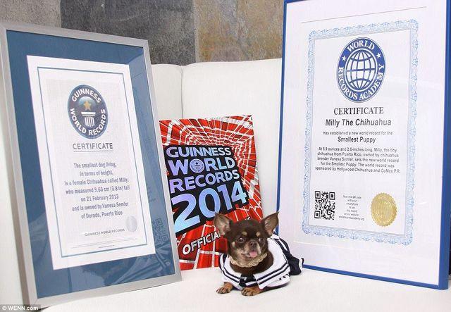【プエルトリコ】「世界一小さい犬」の記録保持者・チワワ犬のミリー、クローン技術で49匹に複製されまたもギネスに認定される ->画像>10枚