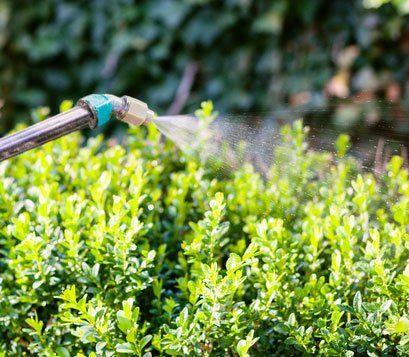 disinfestazione di una siepe verde
