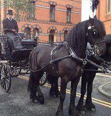 Beautiful black horses