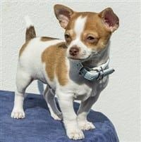 Chihuahua dog - white and tan