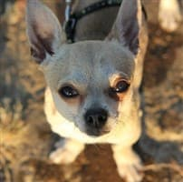 Chihuahua close-up