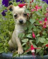 Chihuahua puppy hiding in flowers