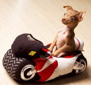 Tiny Chihuahua in toy car