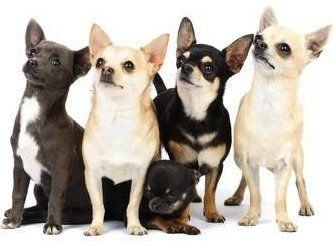 Group of Chihuahua dogs