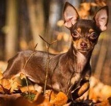 Brown and tan Chihuahua dog