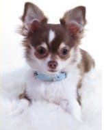 Chihuahua Breeders | Exclusive List of AKC Chihuahua Breeders