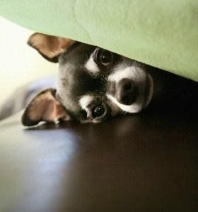 Chihuahua puppy hiding under bed