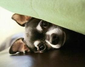 Chihuahua under the bed