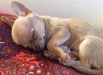 cute Chihuahua puppy asleep