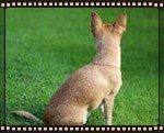 chihuahua-looking-back