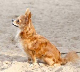 long coat Chihuahua dog