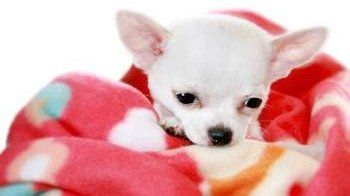 Chihuahua wrapped in blanket