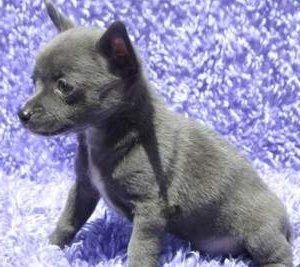 Blue colored Chihuahua puppy