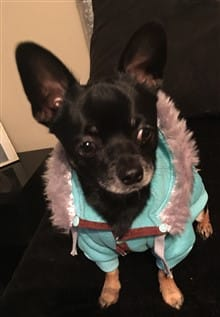 Chihuahua in a blue coat with fur trim