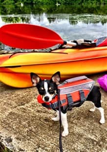 Chihuahua on camping trip, wearing life jacket