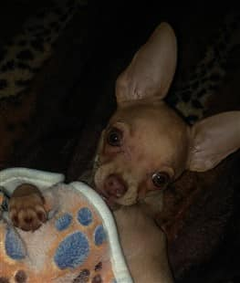 Chihuahua puppy under a blanket