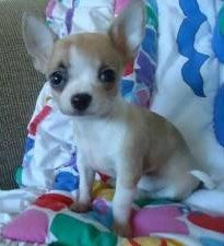 Cute little Chihuahua puppy