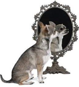 Groomed Chihuahua