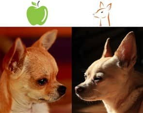 Apple Head Vs Deer Head Chihuahuas